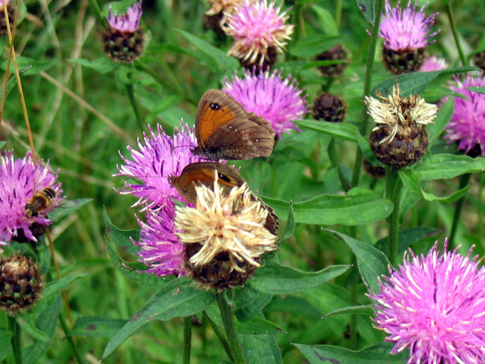 Butterflies on clover, Anglezarke