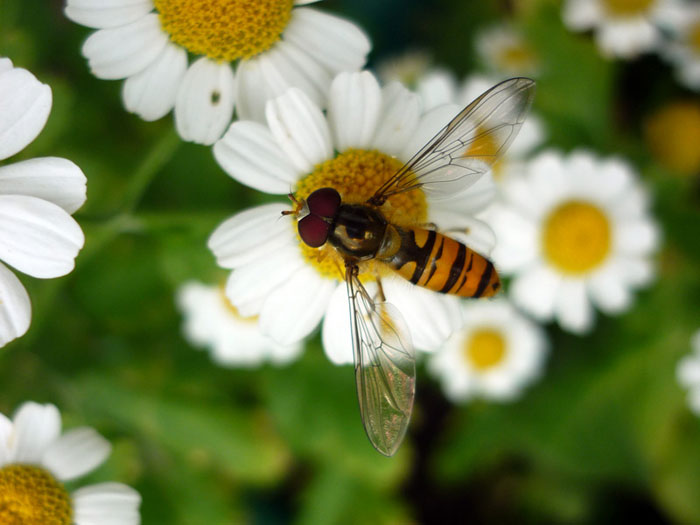 Hoverfly, my garden